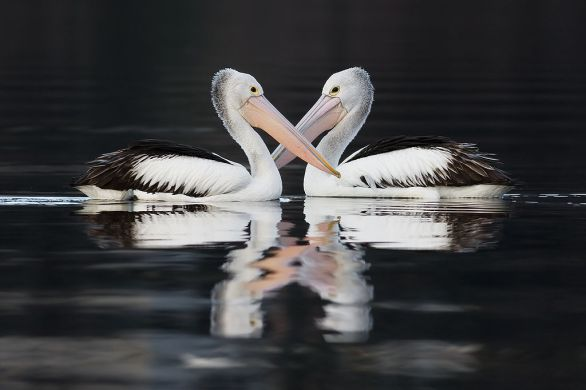 1024px-Pelecanus_conspicillatus_pair_swimming
