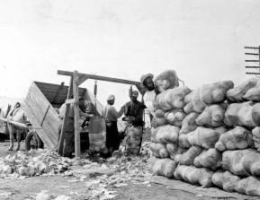 Laborers_sorting,_weighing,_and_stacking_cabbages_at_the_Beach_and_Parker_Farm-_Elkton,_Florida_(3312106508)